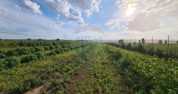 Plantație fructe de pădure 15,000mp Săucești / E85